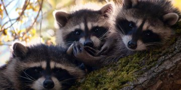 Animals Raccoons L Twitter Covers