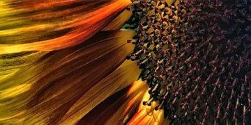 Sunflower Twitter Covers